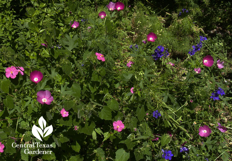 Winecups, pavonia rock rose and larkspur