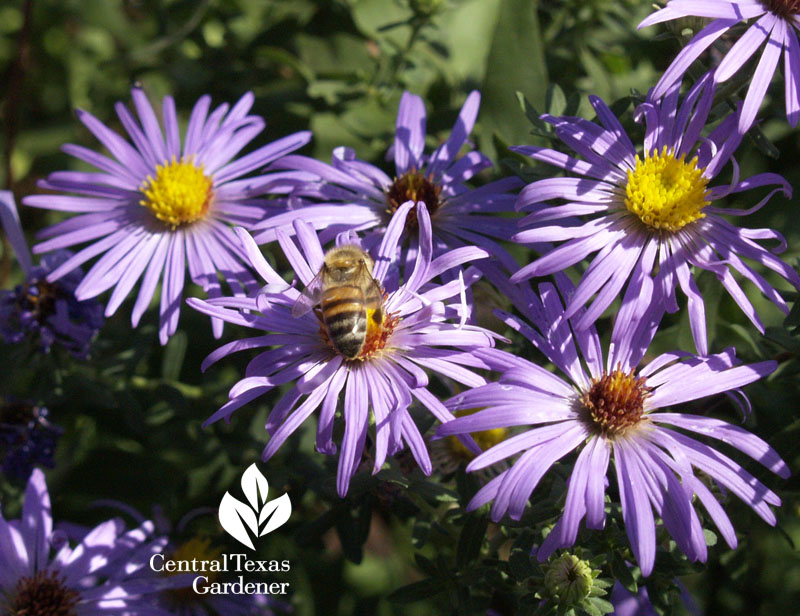 Fall aster with bee