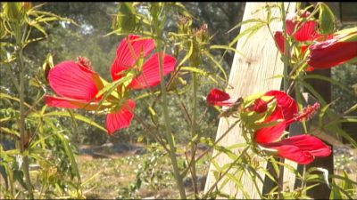 Texas Star Hibiscus Central Texas Gardener