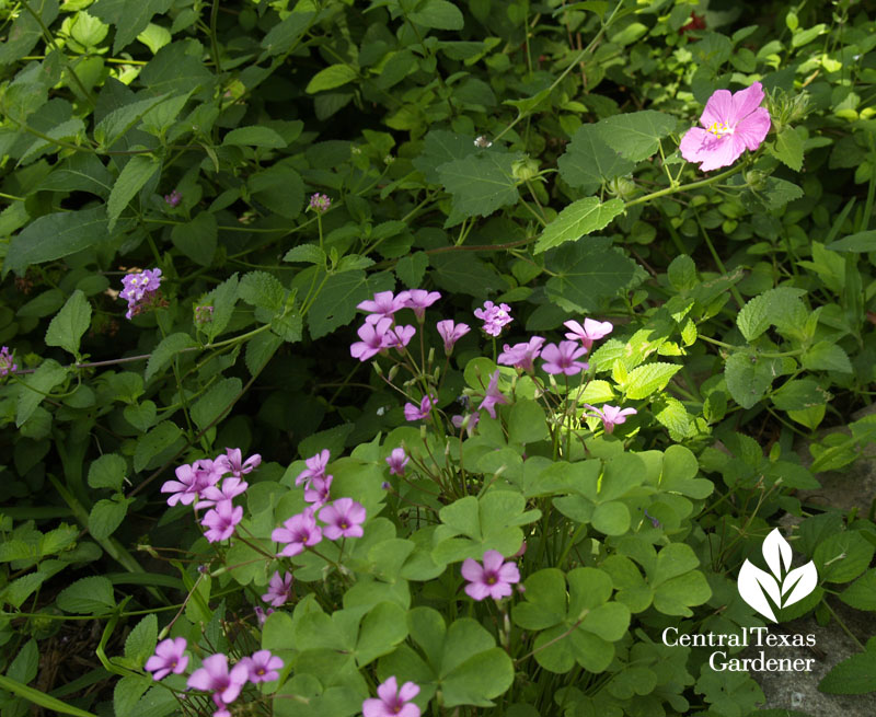 Rock rose and oxalis