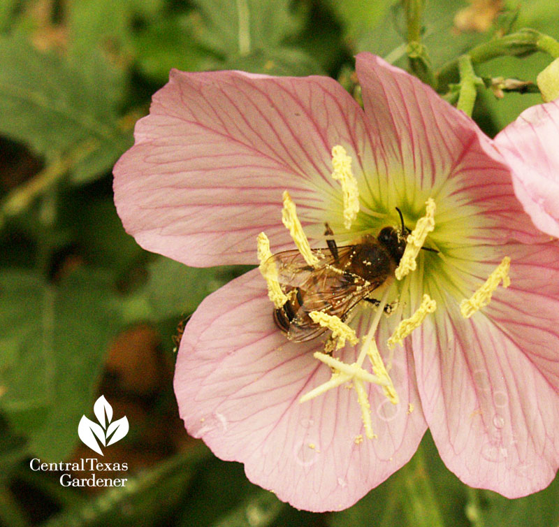Pink Evening primrose with bee