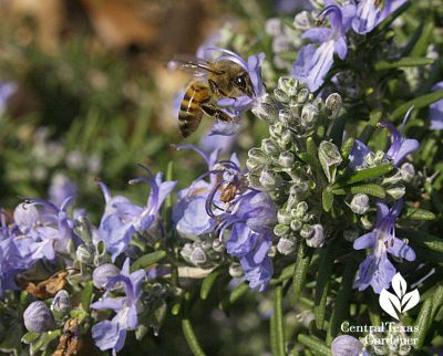 Rosemary flowers with bees