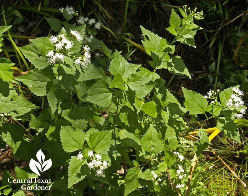 shrubby boneset white mistflower