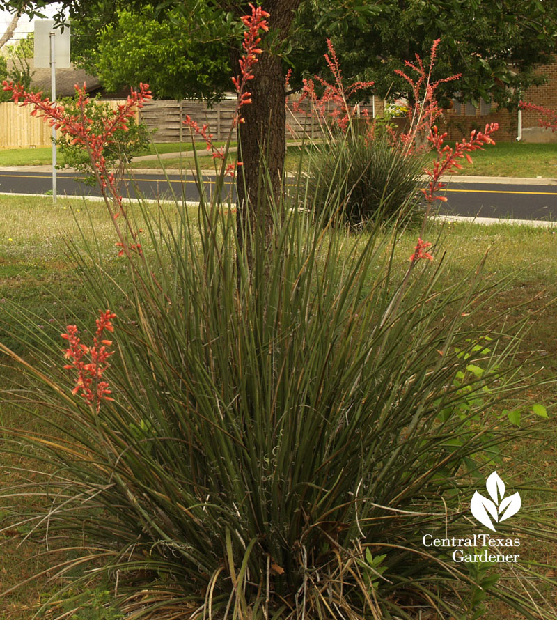 Red yucca competing with bermuda gras