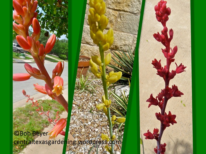 Red yucca colors by Bob Beyer
