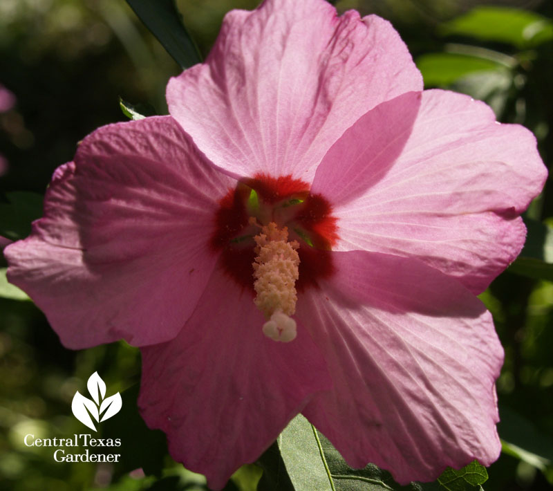 Pink althea, Rose of Sharon