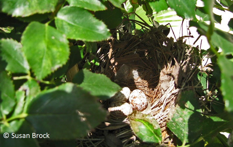 cardinal nest in Knock Out rose