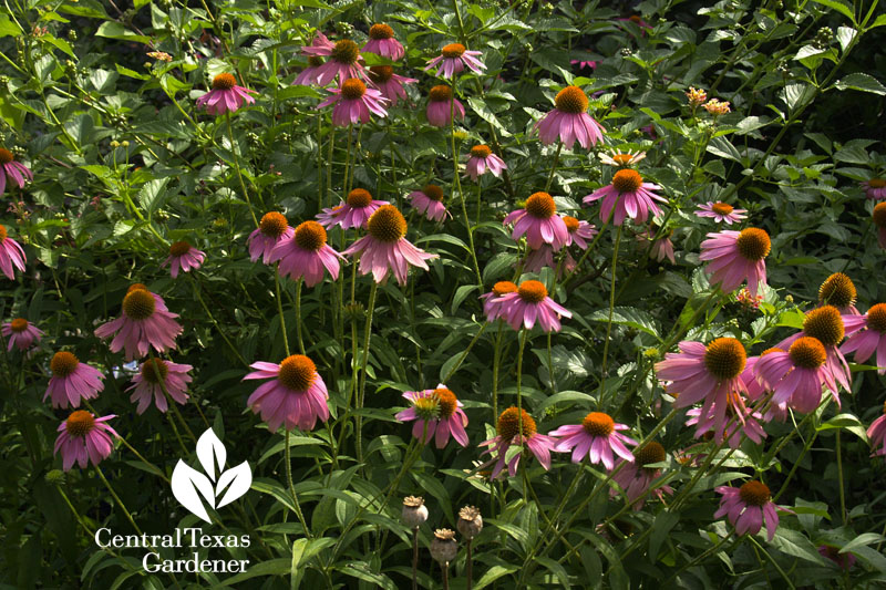 Gorgeous coneflowers Central Texas Gardener