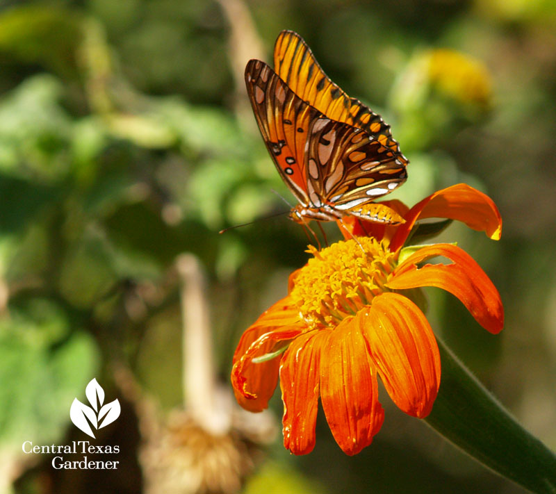 Tithonia (Mexican sunflower) with Gulf Fritillary butterfly