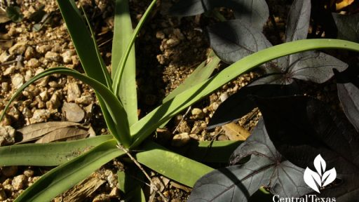 Squid agave with 'Blackie' sweet potato vine