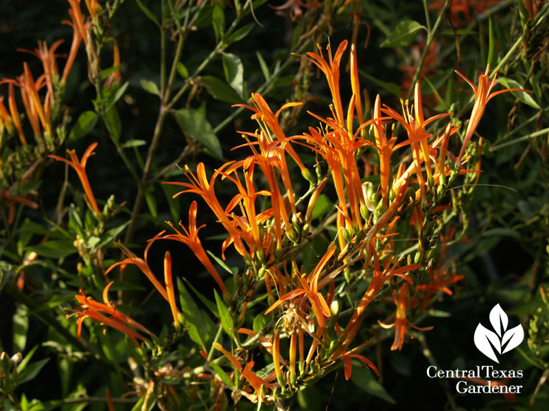 Flame acanthus