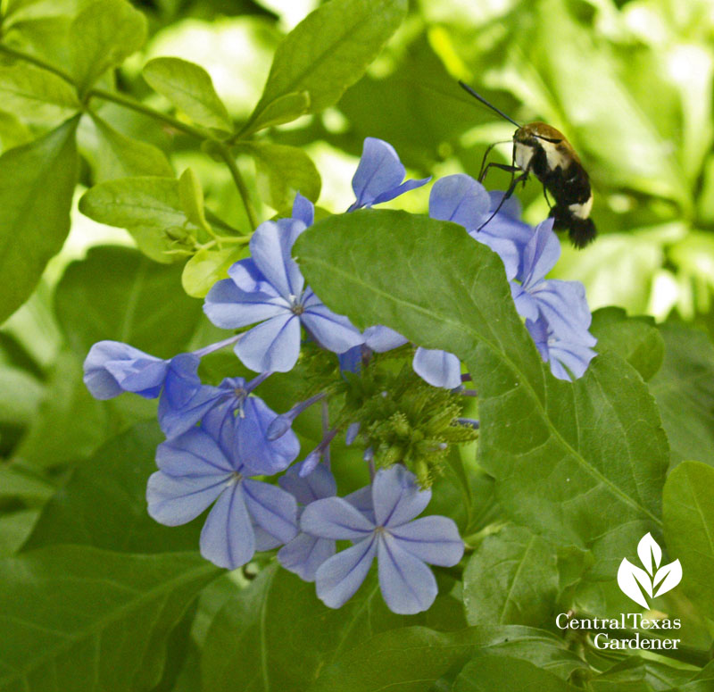 Snowberry clearwing moth on blue plumbago