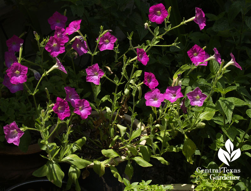 Old-fashioned pink petunias