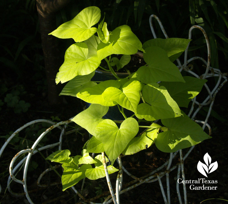 Sweet potato vine on bunny sculpture