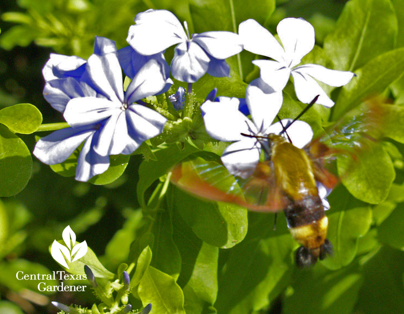 Snowberry clearwing moth on plumbago
