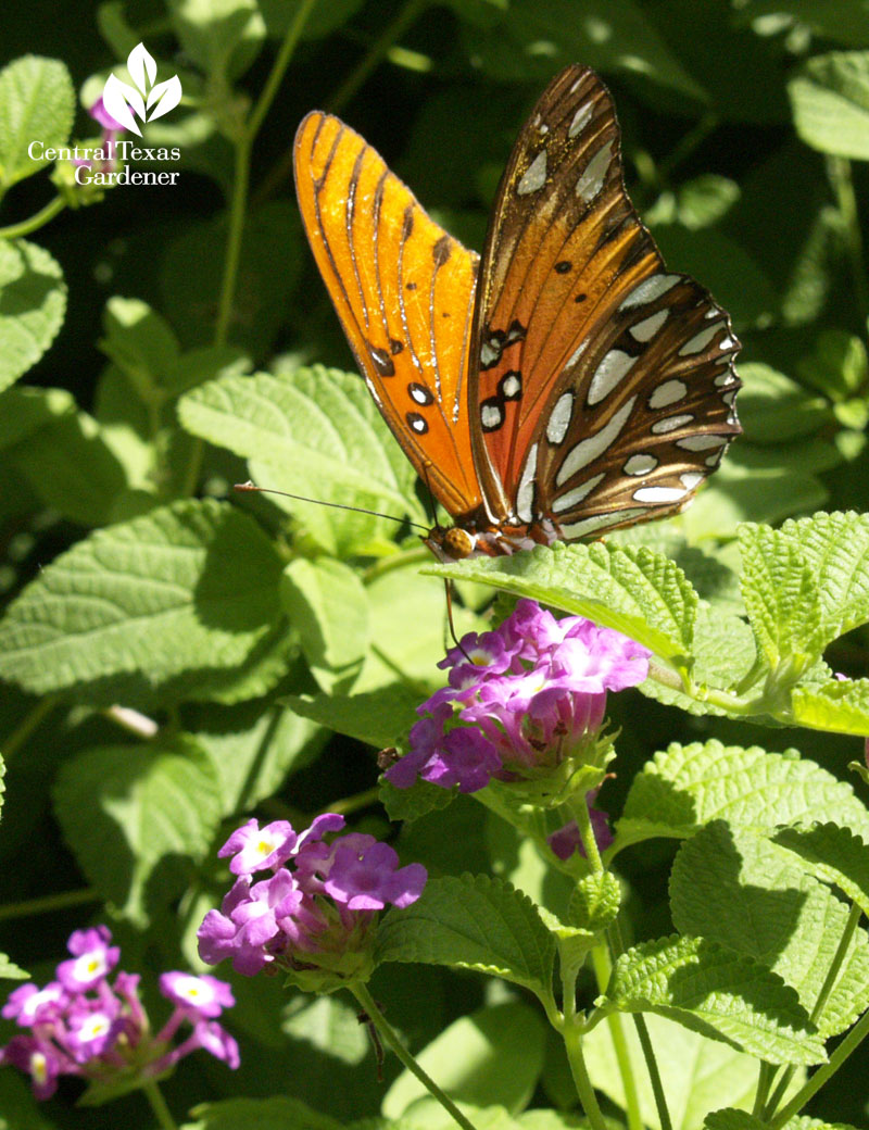 Gulf Fritillary butterfly on lantana