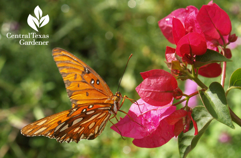 Gulf fritillary butterfly on bougainvillea