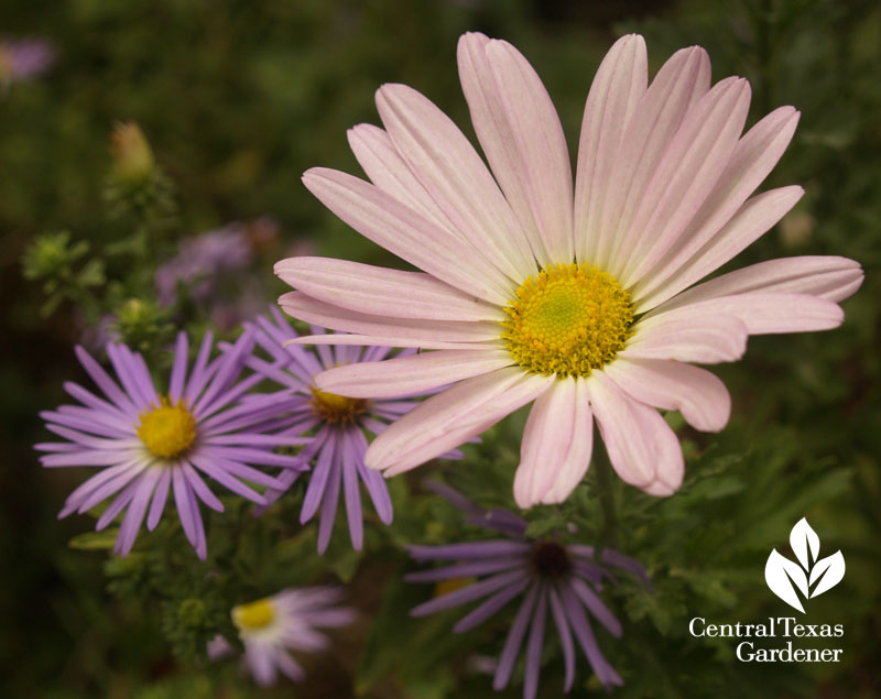 'Country Girl' chrysanthemum and aster