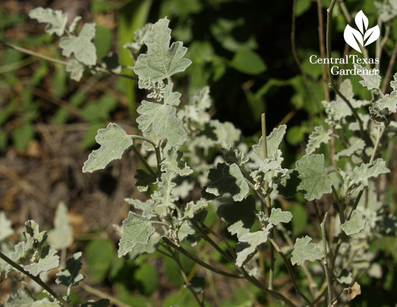 Globe mallow silver leaves