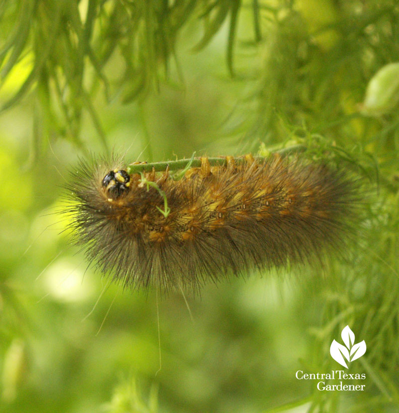Salt Marsh caterpillar on larkspur