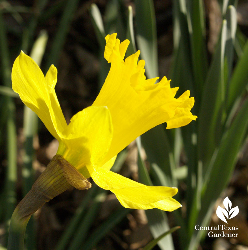 Narcissus 'Gigantic Star'