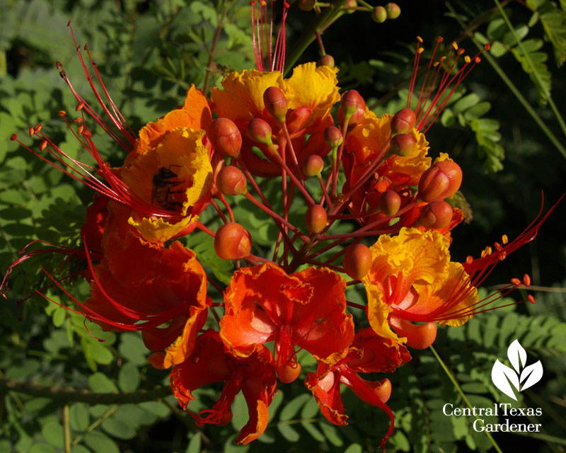 Bee on Pride of Barbados