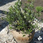'Little Ollie' olive in a pot