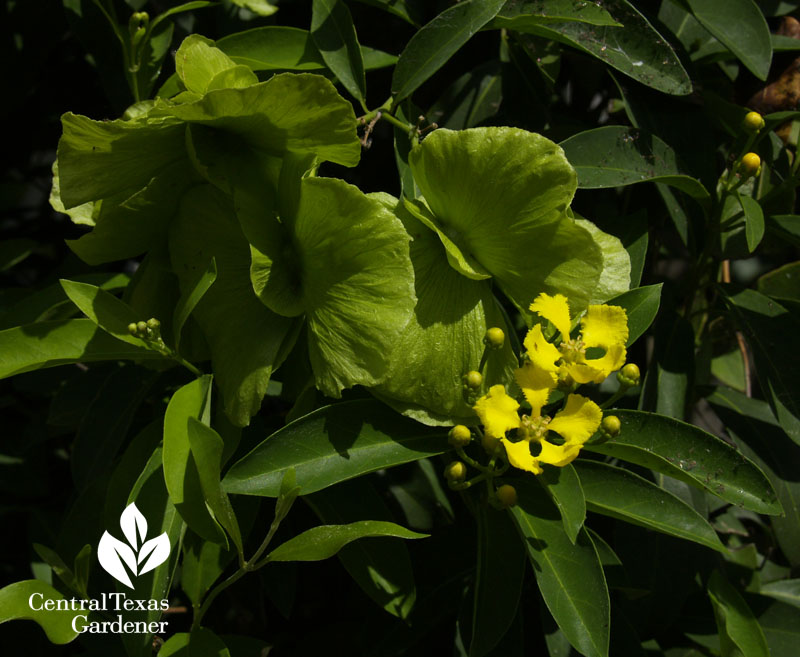 Butterfly vine flowers and green seed pods