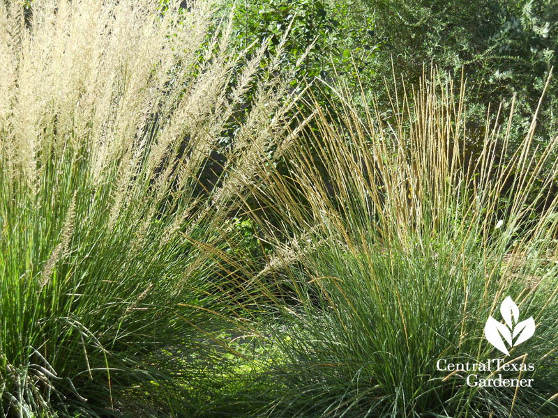 Lindheimer and deer muhly seed heads