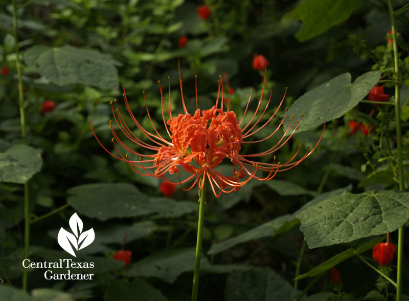 red spider lily (lycoris) and turk's cap