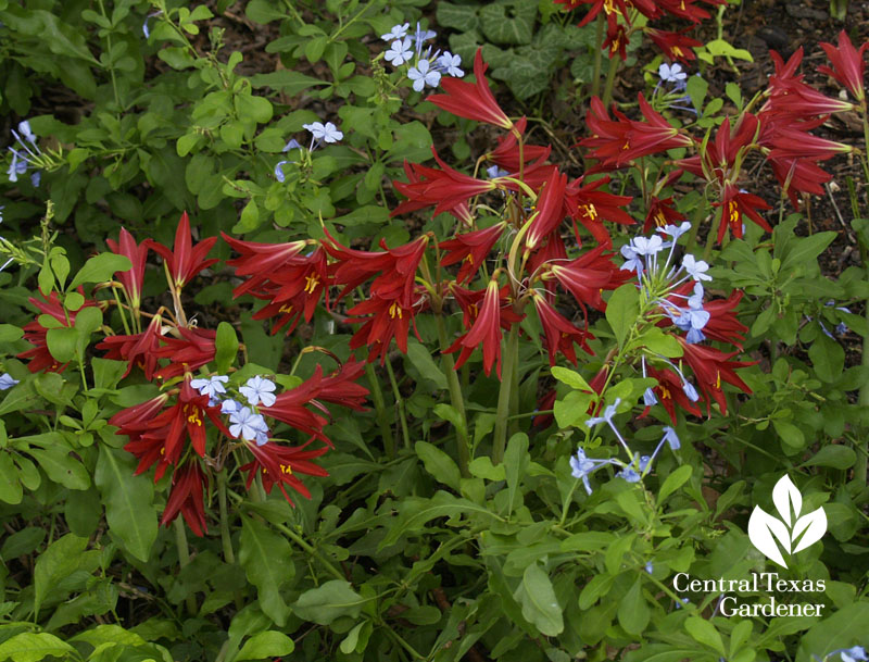 Oxblood lilies and plumbago Austin Texas