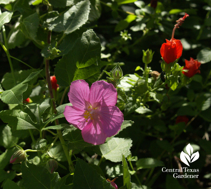 Rock rose and turk's cap