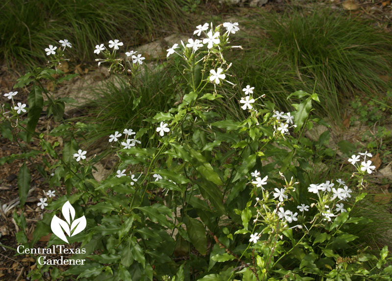 Plumbago scandens with Texas sedge