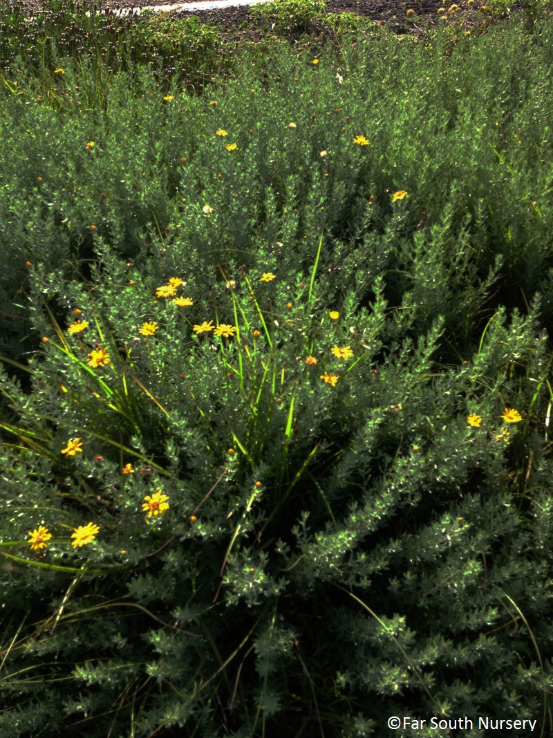 Gray golden-aster (Heterotheca canescens)