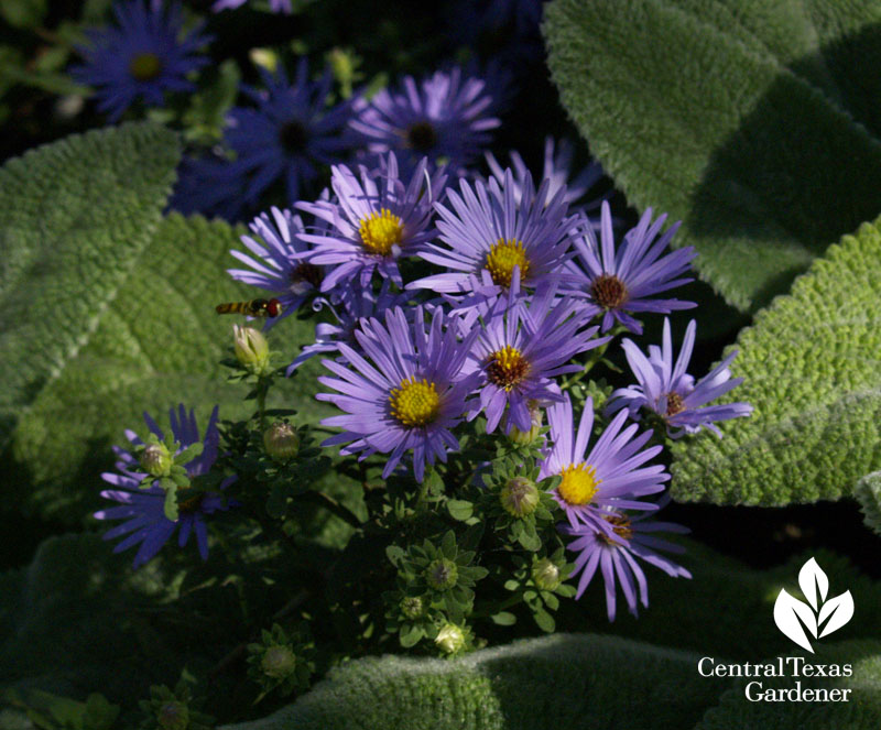 Fall purple aster and 'Helen von Stein' lamb's ears