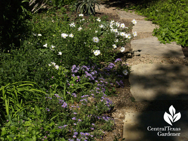 Asters and 'Country Girl' mums stone path