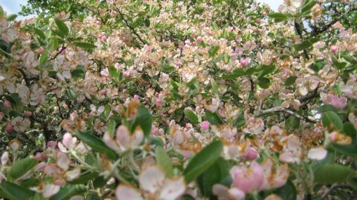 Blanco crabapple flowers Bamberger Ranch
