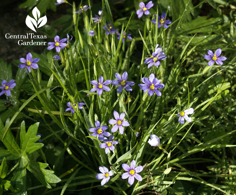 Blue-eyed grass flowers Central Texas