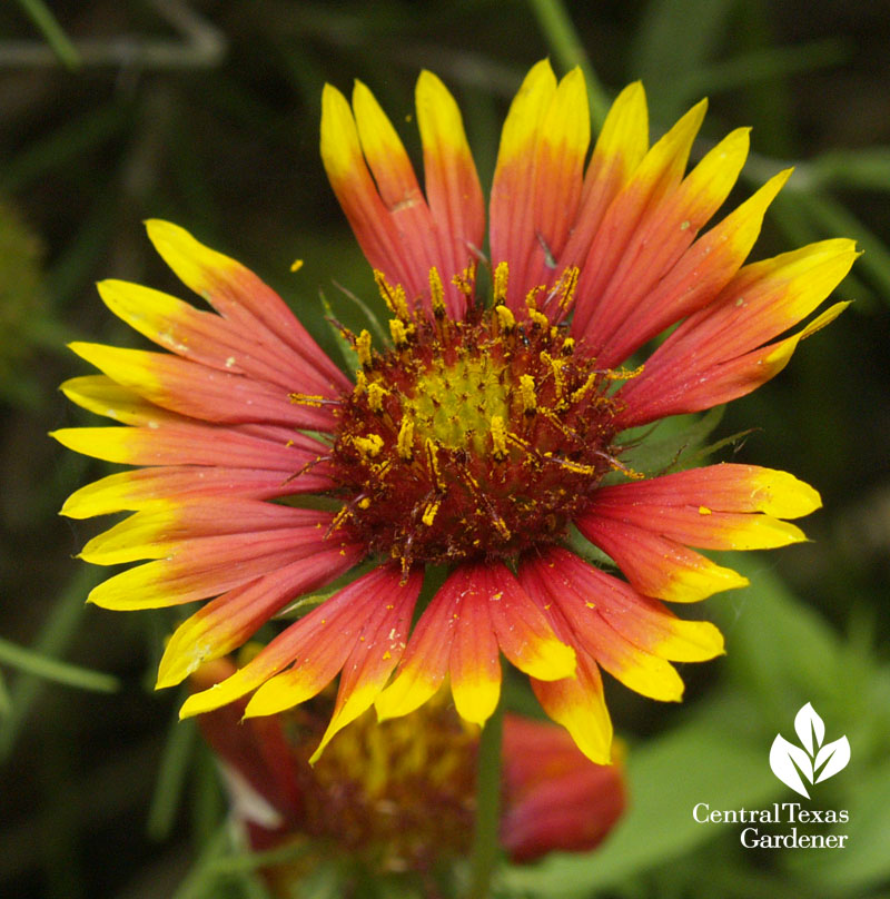 Indian blanket Gaillardia pulchella