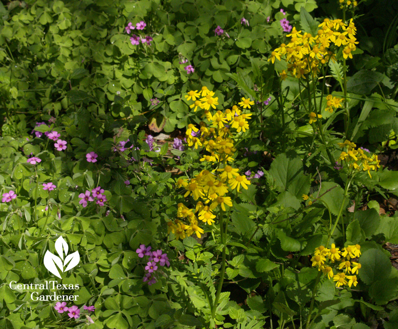 golden groundsel flowers with oxalis