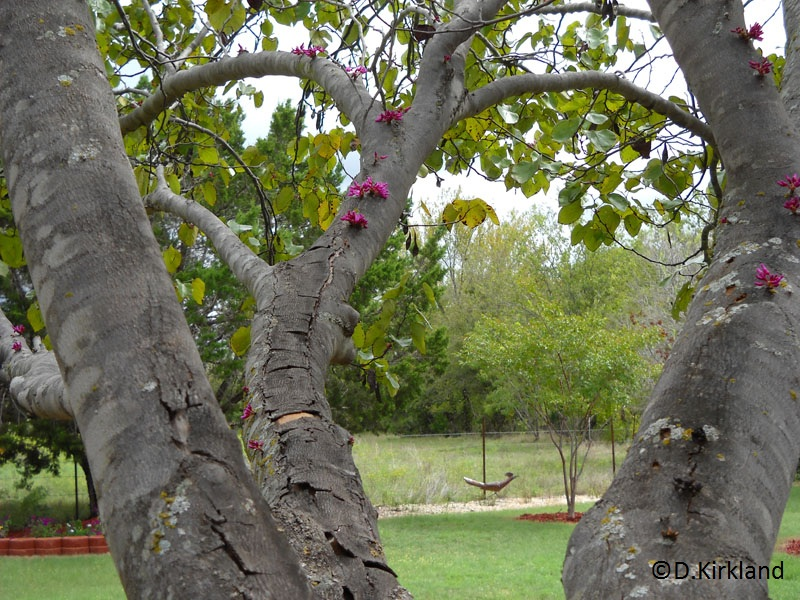 Redbud tree blooming in fall