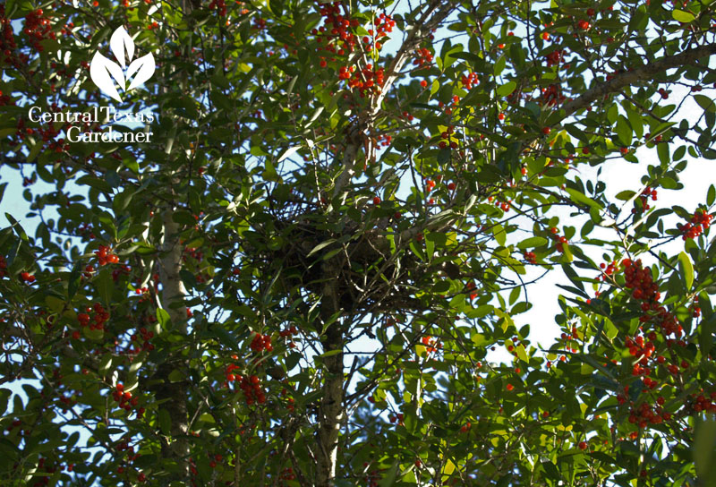 Yaupon holly berries and mockingbird nest