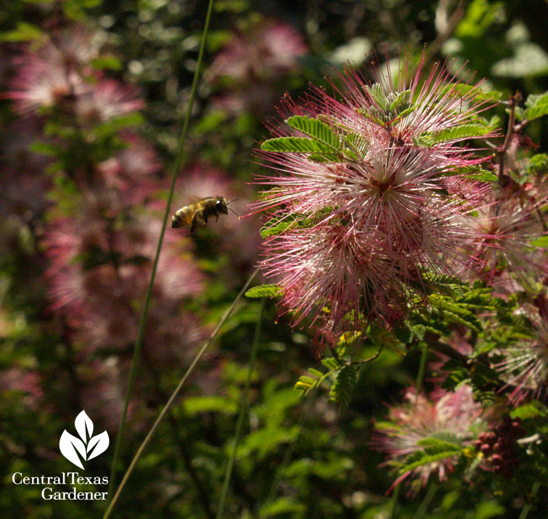 Pink fairy duster and bee