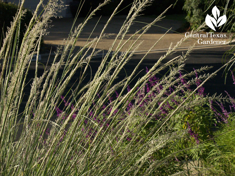 Lindheimer muhly and Salvia leucantha