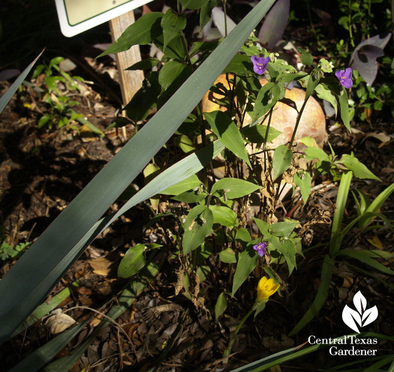 Mexican spiderwort with Sternbergia lutea