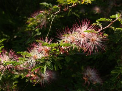 fairy duster plant of the week