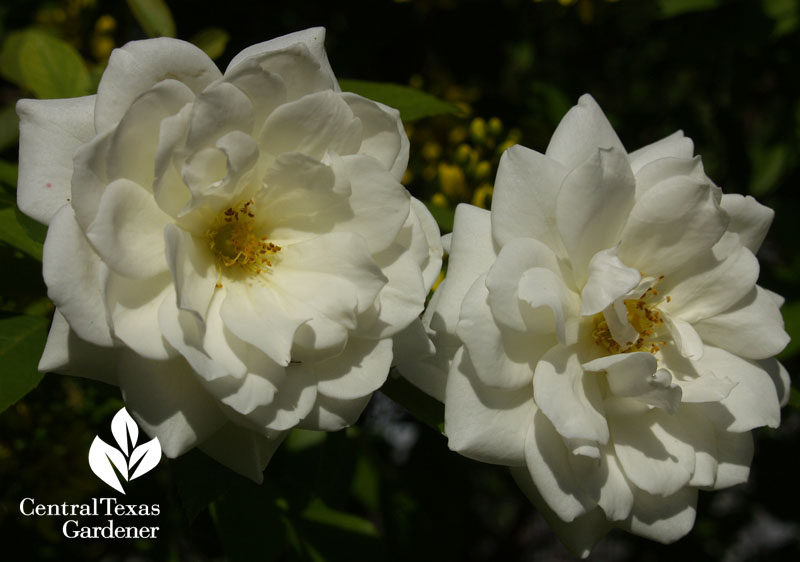 Iceberg rose Central Texa