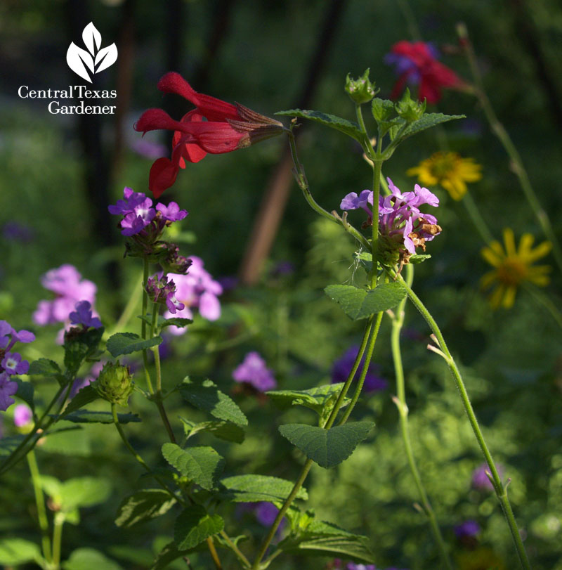 Silke's Dream salvia, purple lantana, skeleton-leaf goldeneye