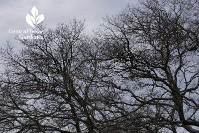 Cedar elm winter