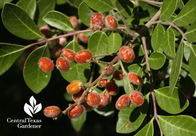 Evergreen sumac berries